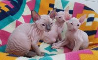 Sphynx Cats for sale in Des Moines, WA, USA. price: NA