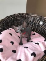 Sphynx Cats for sale in New Orleans, LA, USA. price: NA