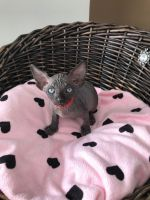Sphynx Cats for sale in Portland, ME, USA. price: NA