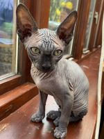 Sphynx Cats for sale in Billings, MT, USA. price: NA