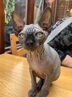 Sphynx Cats for sale in Omaha, NE, USA. price: NA
