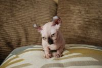 Sphynx Cats for sale in Las Vegas, NV, USA. price: NA