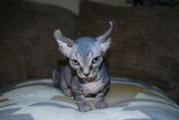 Sphynx Cats for sale in Jersey City, NJ, USA. price: NA