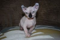 Sphynx Cats for sale in Raleigh, NC, USA. price: NA