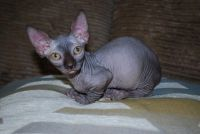 Sphynx Cats for sale in Bismarck, ND, USA. price: NA