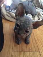 Sphynx Cats for sale in Pittsburgh, PA, USA. price: NA