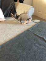 Sphynx Cats for sale in Sioux Falls, SD, USA. price: NA