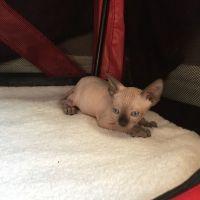 Sphynx Cats for sale in Salt Lake City, UT, USA. price: NA