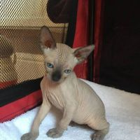 Sphynx Cats for sale in Montpelier, VT 05602, USA. price: NA