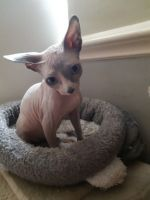 Sphynx Cats for sale in Madison, WI, USA. price: NA