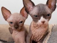 Sphynx Cats for sale in Los Angeles, CA 90021, USA. price: NA
