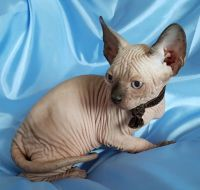 Sphynx Cats for sale in West Virginia State Capitol, Charleston, WV 25305, USA. price: NA
