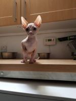 Sphynx Cats for sale in Indianapolis International Airport, Indianapolis, IN 46241, USA. price: NA