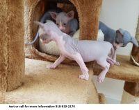 Sphynx Cats for sale in S Vernal Ave, Vernal, UT 84078, USA. price: NA
