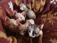 Sphynx Cats for sale in NJ-27, Metuchen, NJ, USA. price: NA