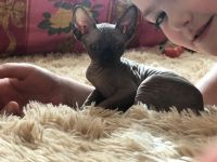 Sphynx Cats for sale in Sacramento, CA, USA. price: NA