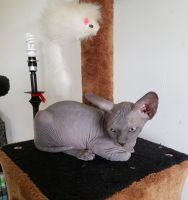 Sphynx Cats for sale in 5134 Betsy Ln, McHenry, IL 60050, USA. price: NA