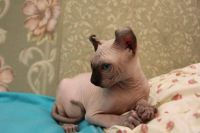 Sphynx Cats for sale in Columbus, OH, USA. price: NA