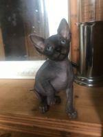 Sphynx Cats for sale in Boston, MA, USA. price: NA