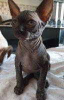 Sphynx Cats for sale in Philadelphia, PA, USA. price: NA