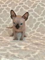 Sphynx Cats for sale in Mobile, AL, USA. price: NA