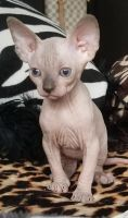 Sphynx Cats for sale in Indianapolis, IN, USA. price: NA