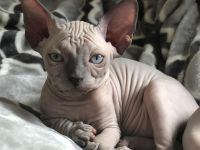 Sphynx Cats for sale in Louisville, KY, USA. price: NA