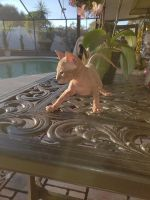 Sphynx Cats for sale in Kansas City, MO, USA. price: NA