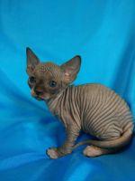 Sphynx Cats for sale in Newark, NJ, USA. price: NA