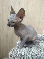 Sphynx Cats for sale in New York, NY, USA. price: NA