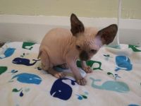 Sphynx Cats for sale in Greensboro, NC, USA. price: NA