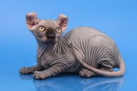 Sphynx Cats for sale in Portland, OR, USA. price: NA