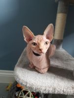 Sphynx Cats for sale in Columbia, SC, USA. price: NA