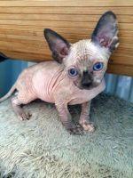 Sphynx Cats for sale in Nashville, TN, USA. price: NA