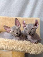 Sphynx Cats for sale in Charleston, WV, USA. price: NA