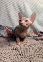 Sphynx Cats for sale in Little Rock, AR, USA. price: NA