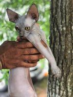 Sphynx Cats for sale in Atlanta, GA, USA. price: NA