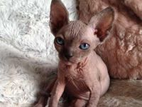 Sphynx Cats for sale in New Caney, TX 77357, USA. price: NA