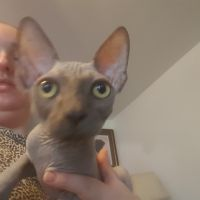 Sphynx Cats for sale in Graham, WA 98338, USA. price: NA