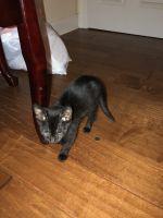 Sphynx Cats for sale in Walker, LA, USA. price: NA