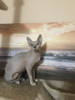 Sphynx Cats for sale in Boiling Springs, SC 29316, USA. price: NA