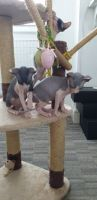 Sphynx Cats for sale in 6401 Bluebonnet Blvd, Baton Rouge, LA 70836, USA. price: NA