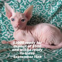 Sphynx Cats for sale in Conway, SC, USA. price: NA