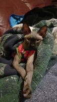 Sphynx Cats for sale in McDonough, GA, USA. price: NA