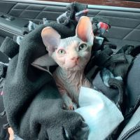 Sphynx Cats for sale in Klamath Falls, OR, USA. price: NA