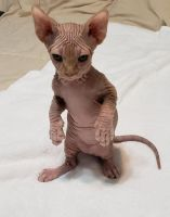 Sphynx Cats for sale in Cutler Bay, FL, USA. price: NA