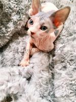 Sphynx Cats for sale in Stafford, VA 22554, USA. price: NA