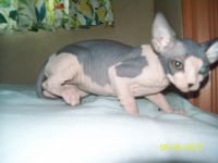 Sphynx Cats for sale in Titusville, FL, USA. price: NA
