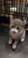 Sphynx Cats for sale in Davenport, FL, USA. price: NA