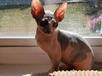 Sphynx Cats for sale in Massillon, OH, USA. price: NA